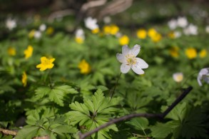 Weiße und Gelbe Blüten der Buschwindröschen (c) Frank Koebsch (1)