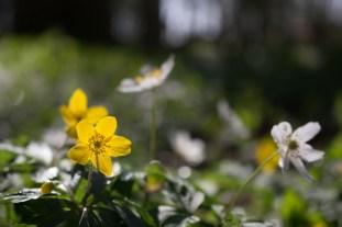 Weiße und Gelbe Blüten der Buschwindröschen (c) Frank Koebsch (2)