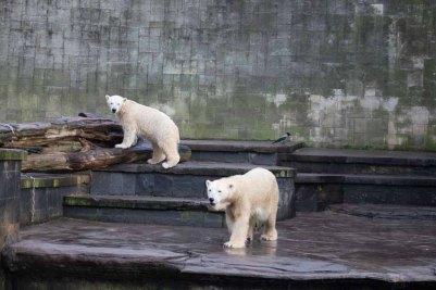 Fiete und Eisbären Mutter Vilma im Rostocker Zoo - Dezember 2015 (c) FRank Koebsch