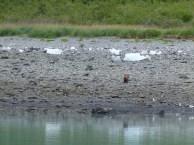 Grizzlys am Ufer der Glacier Bay (c) FRank Koebsch (3)