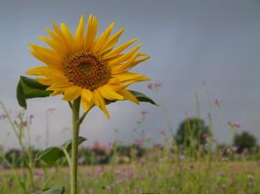o.T. (c) Aquarell mit Sonnenblumen von Hanka Koebsch
