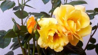 Rosen der Alten Büdnerei in Kühlungsborn (c) Frank Koebsch (2)