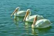 3-white-pelicans-2