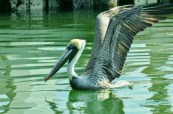 brown-pelican-wings-up
