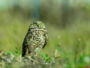burrowing-owl-44
