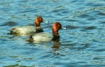 RED HEADED DUCKS