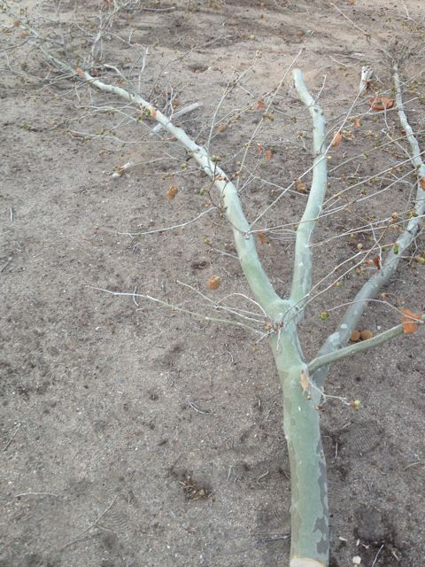 Cottonwood Limb