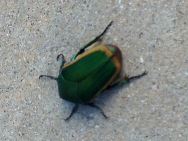 Green and yellow Scarab beetle