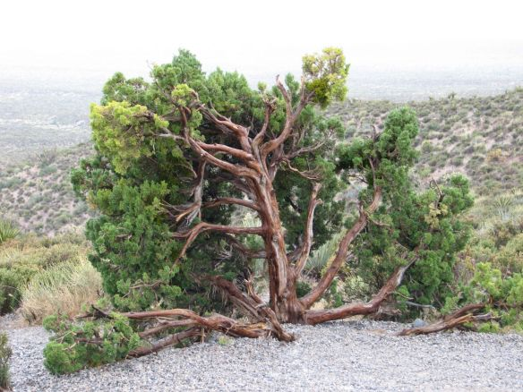 The Bending Tree at Red Rock Canyon