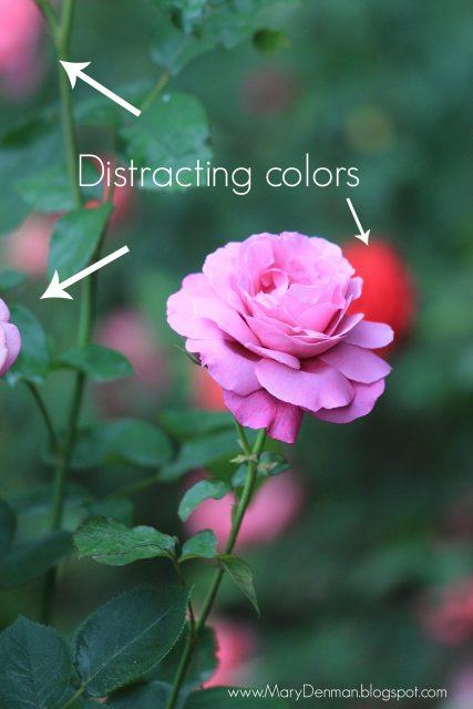 Mary Denman: pink rose 1