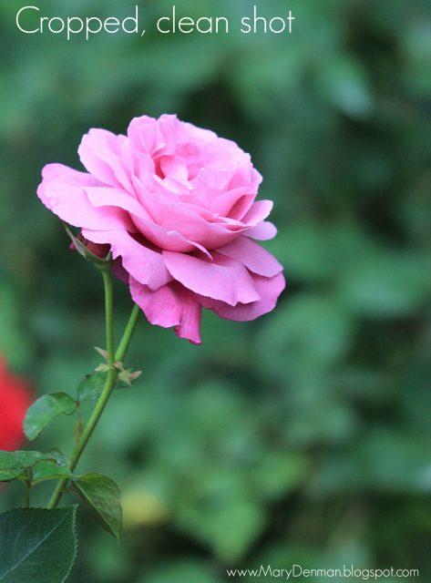 Mary Denman: pink rose 3
