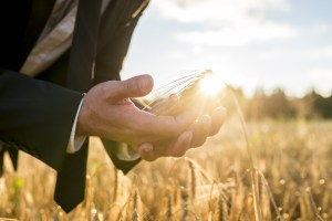 Businessman cupping a ripe ear of wheat in his hands