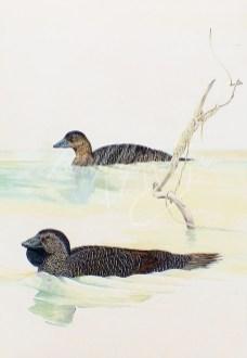 (289) Musk Ducks 101 x 71 cm