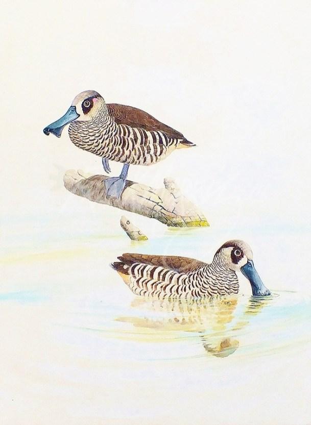 (271) Pink-eared Ducks 71x61 cm