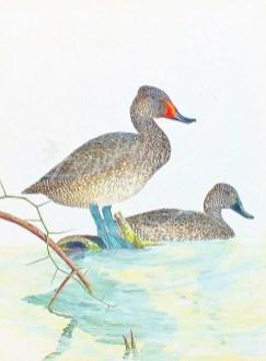 (283) Freckled Ducks 81 x 61 cm