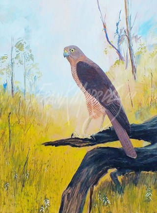 (b) Brown Goshawk 91 x 69 cm