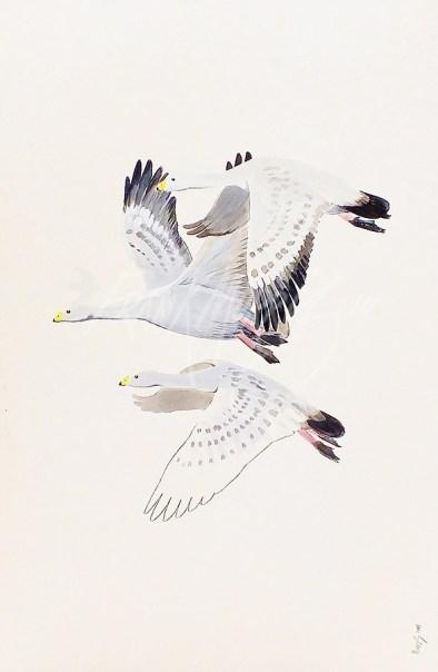 (473) Cape Barron Geese 51x76 cm