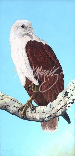 (YW100) 61 x 31 cm Solitary Fisherman (Brahminy Kite)