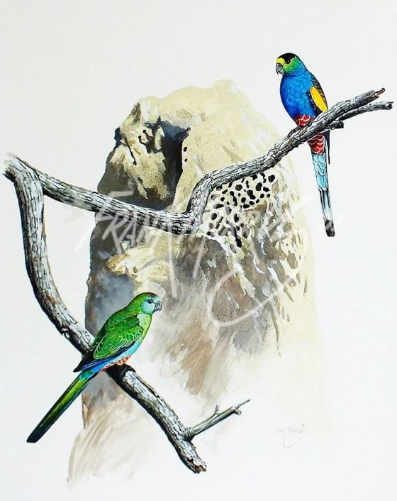(Y355) Golden-Shouldered Parrots 70 x 50 cm