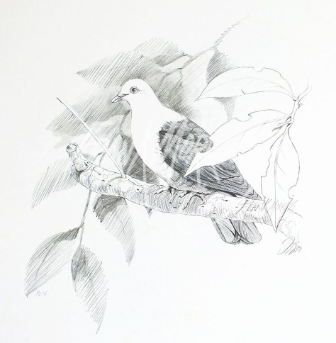 (PD18) White-Headed Pigeon 76 x 51 cm SOLD