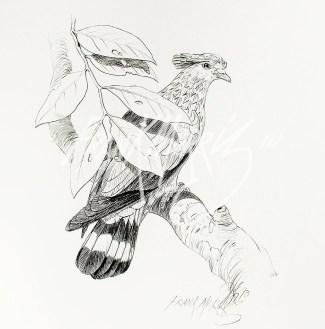 (PD16) Topknot Pigeon 76 x 51 cm $60