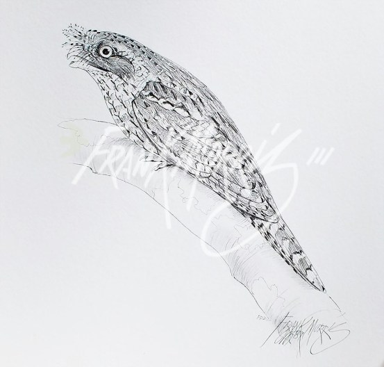 (PD22) Marbled Frogmouth 76 x 51 cm SOLD