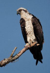 Osprey Perch Broad River Columbia SC