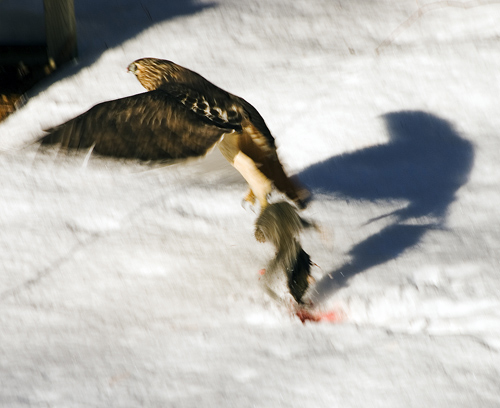 Hawk Flying With Dinner