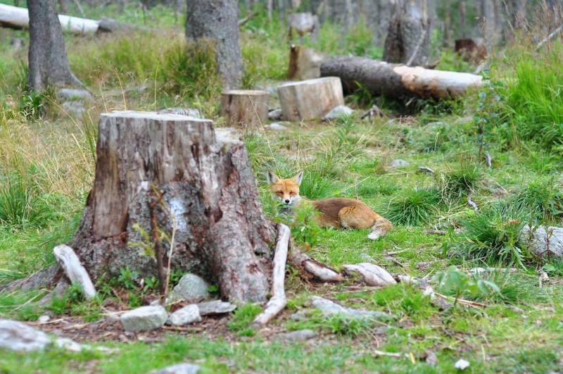 fox-1146799_1920
