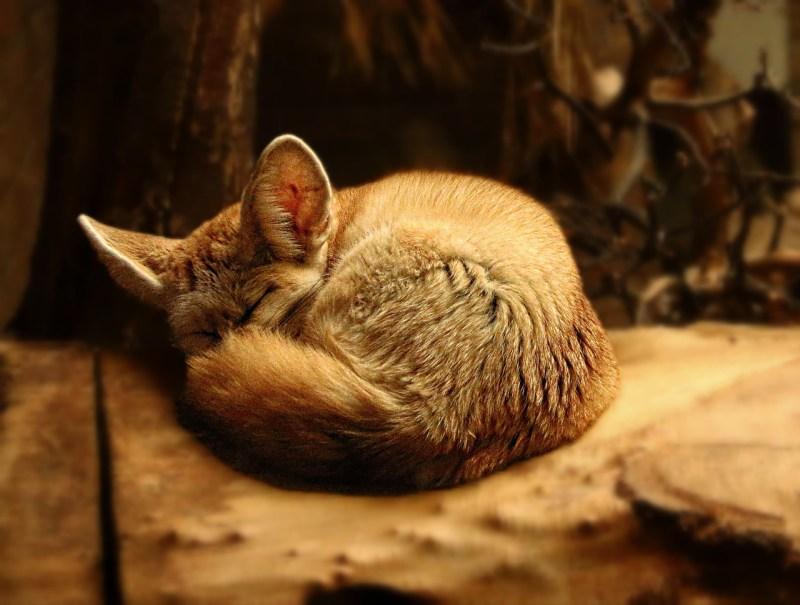 fox-1199553_1280