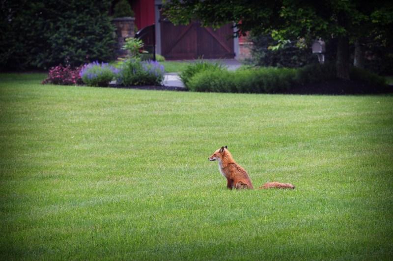 fox-1441956_1920