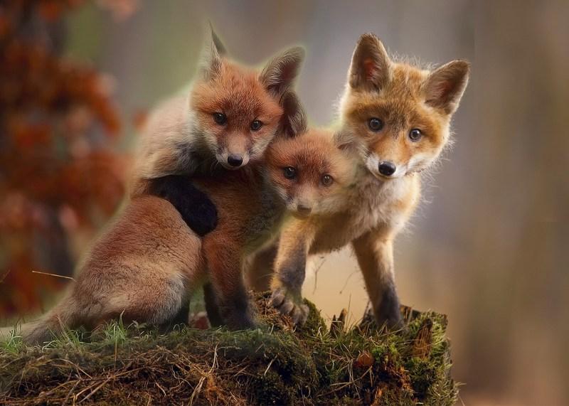fox-3707653_1280