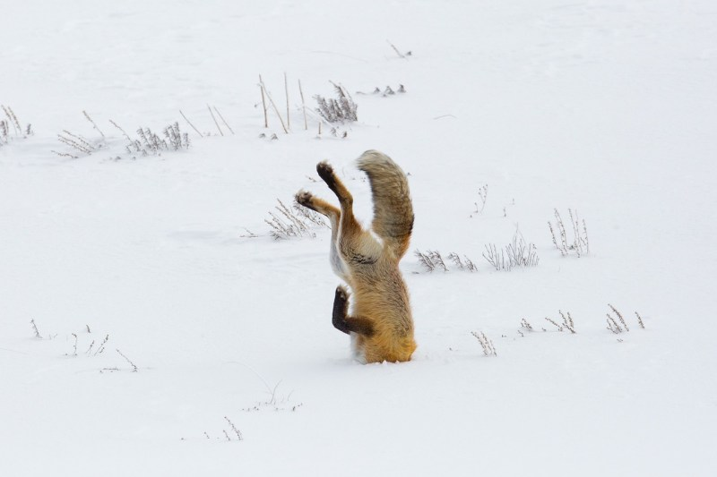 fox-3848307_1280