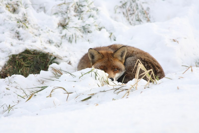 fox-661981_1920