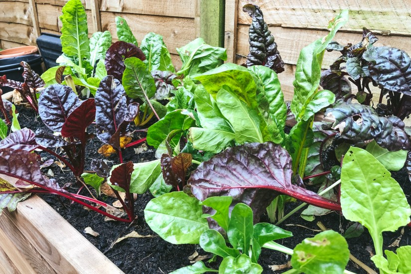 Chard: the leafy veg is the star of my autumn and winter garden