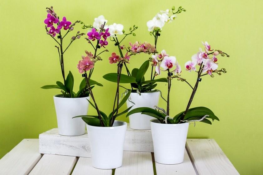 orchids-595242_1280