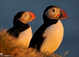 Atlantic puffins (Fratercula arctica) on cliff edge, Latrabjarg bird cliffs, Westfjords, Iceland