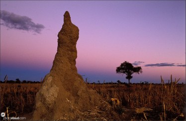 Termite mound evening landscape of Bushmanland, Namibia