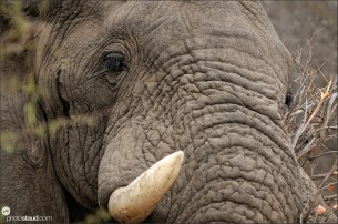 Close up portrait of African elephant (Loxodonta africana), Kruger National Park, South Africa