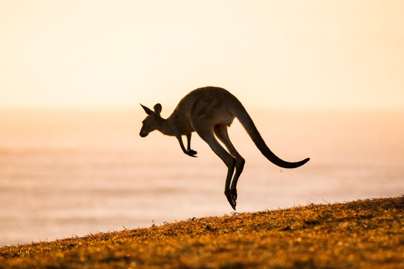 Kangaroo silhouette - Franzi Photography