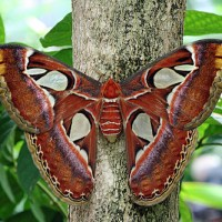 Atlas Moth The Largest in the World