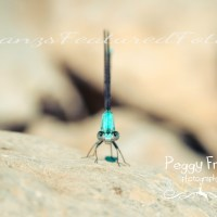 Can I Bug You ?  My Photography of Macro Dragonflies