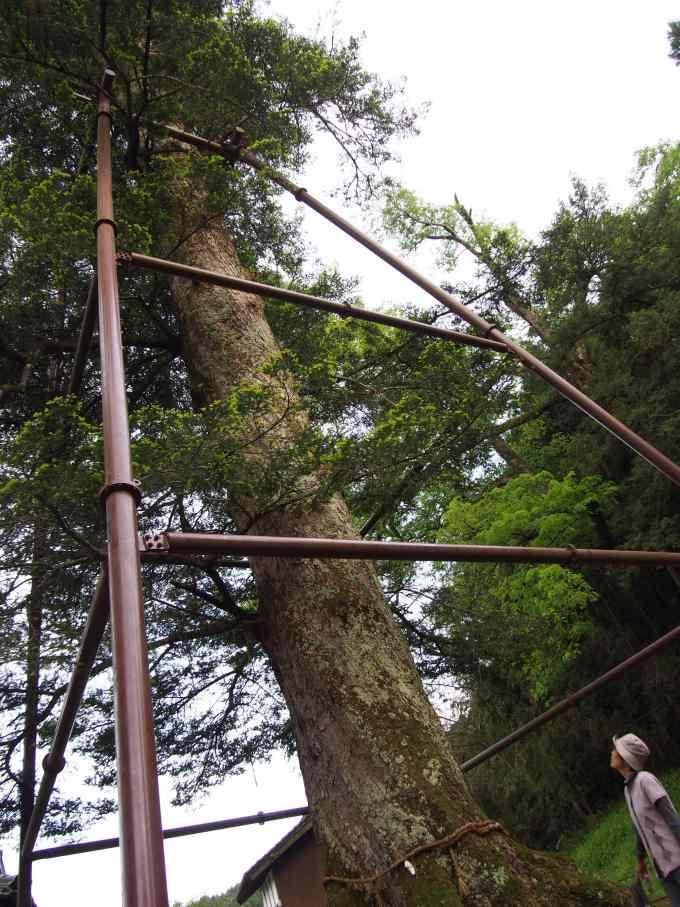 日本一の樅の木
