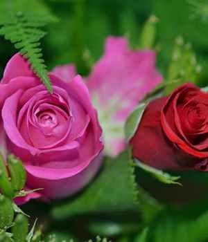 roses-flower-nature-macro-63638