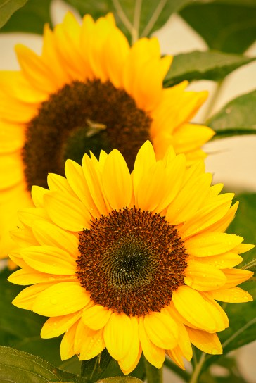duo-sonnenblumen