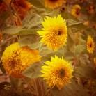 sonnenblumenfein