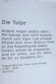 die-tulpe