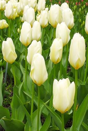 tulpen6