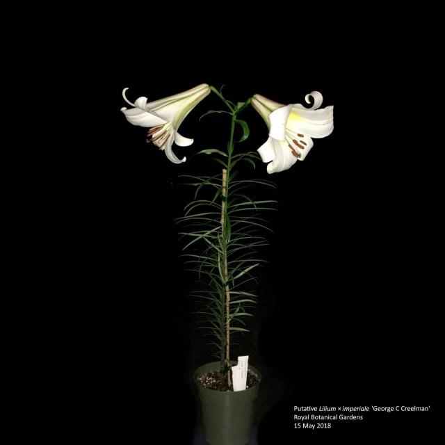 frauenfiguren isabella preston mutmaßliche creelman-lilie © Royal Botanical Gardens, 15. Mai 2018