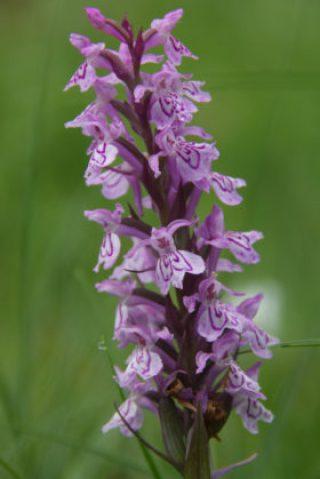 Orchidee Rossweid Frau Fadegrad